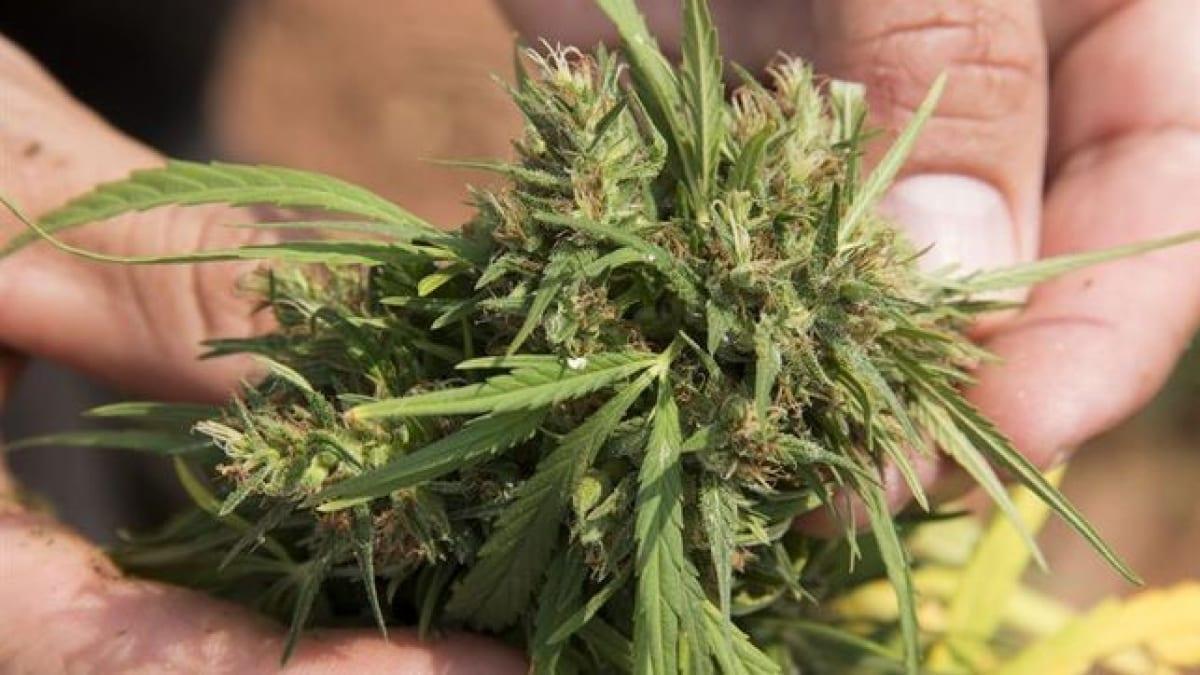 Flor de cannabis