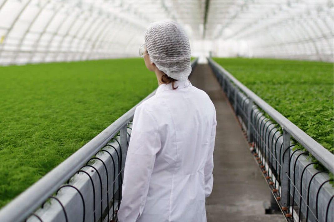 Imagen de una plantación de marihuana para fines medicinales.